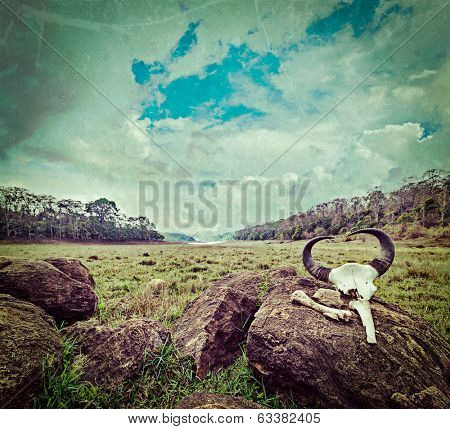 Vintage retro hipster style travel image of gaur (Indian bison) skull with horns and bones in Periyar wildlife sanctuary, Kumily, Kerala, India with grunge texture overlaid