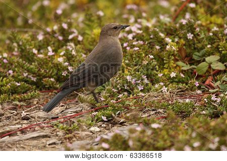 Blackbird Among Flowers