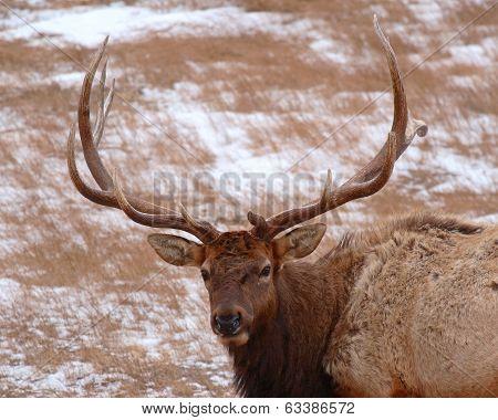 Large Elk Bull