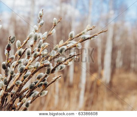 Spring Background Of Willow Branches