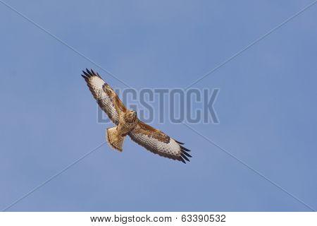 Common Buzzard ( Buteo Buteo) Single Bird In Flight