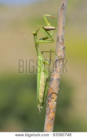 Insect Outdoor (mantis Religiosa) Eat