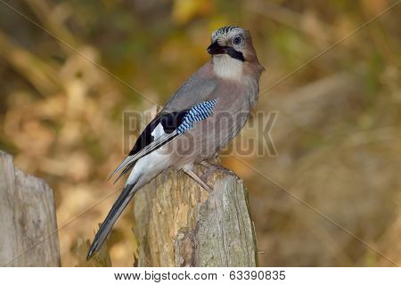 Jay (garrulus Glandarius) In Natural Habitat
