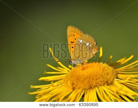 Butterfly (lycaena Dispar)