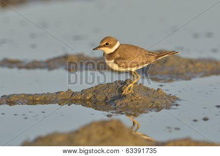 Little Ringed Plover (charadrius Dubius)