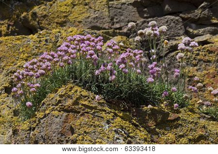 Armeria maritima, thrift, sea thrift