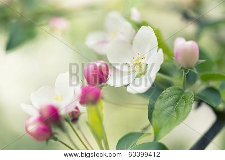 Cherry Tree Flower