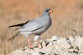 image of goshawk  - Pale Chanting Goshawk feeding on red sand dune among dry grass in the Kalahari  - JPG