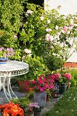 foto of climbing rose  - A pink climbing roses in the garden - JPG