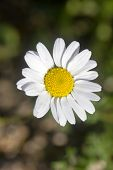 image of rare flowers  - closeup of a rare beautiful flower in the nature of greek island - JPG