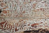 stock photo of peculiar  - Abstract patterns on a tree trunk left by a bark beetle - JPG