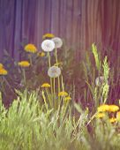 dandelions blooming in the spring in front of a wood fence done with a retro vintage instagram filt