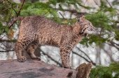 stock photo of bobcat  - Bobcat Kitten  - JPG