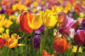 Field Of Mixed Colors Tulips In Bloom Background