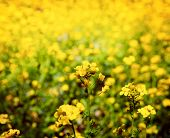 Rapeseed, mustard or Canola flower in retro, nostalgic, in-memory-like tone.