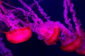 image of nettle  - Chrysaora fuscescens is a common free-floating scyphozoa that lives in the Pacific Ocean and is commonly known as the Pacific Sea Nettle or West Coast Sea Nettle. Jellyfish