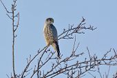 stock photo of merlin  - Merlin (Falco columbarius) perching on branch in a day