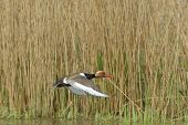 pic of crested duck  - Red Crested pochard  - JPG