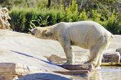 image of blubber  - A wet white polar bear coming out of the water to rest standing on the edge slouching - JPG