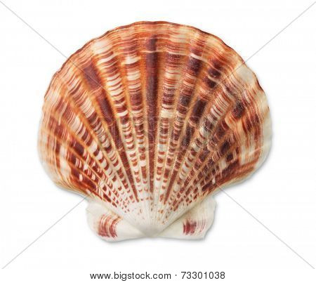 Scallop sea shell isolated on white