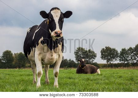 Dutch Black And White Cow In A Meadow