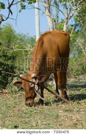 Brown Cow In A Farm (III)