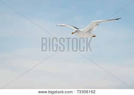 flying seagull with wings spread at blue sky