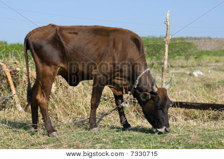 Black Bull Cow In A Farm (ii)