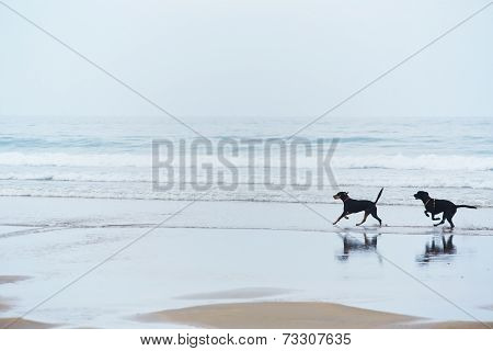 Retriever labrador and doberman running on the beach touching waves, walk for dogs
