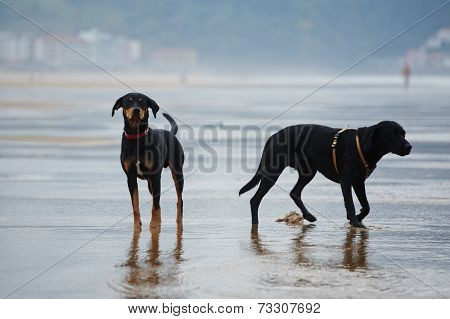 Two beautiful black dogs standing on the beach, purebred labrador retriever and doberman