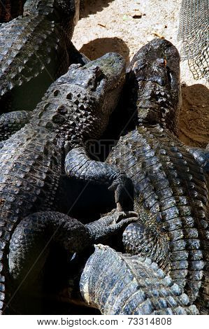 Two American Alligators Snuggling