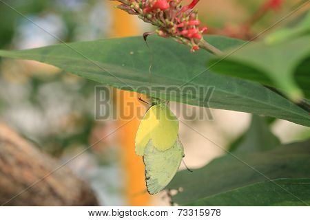 Lemon Migrant Butterflies mating