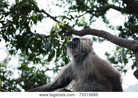 Hanuman Langur Monkey On The Tree