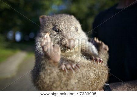 baby wombat from australia