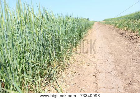 Road in field with wheat