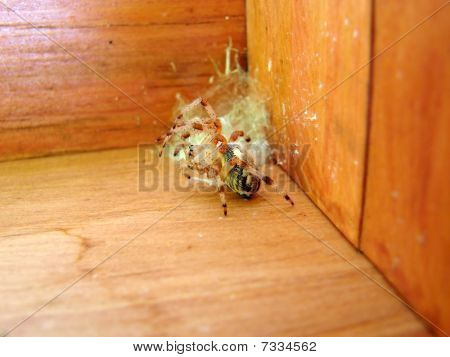Spider Defending Nest