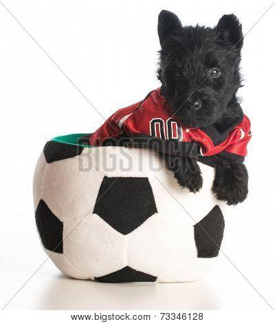 sports hound - scottish terrier puppy wearing sports jersey sitting inside soccer ball