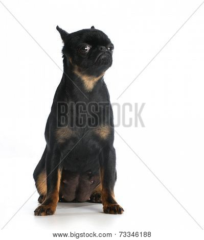brussels griffon sitting looking at viewer isolated on white background
