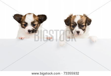 Two Papillon Puppies On White Background