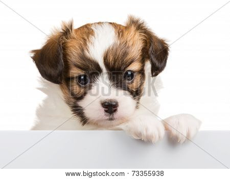 Cute Puppy Papillon Leans On Blank Banner