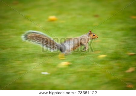 Eastern Grey Squirrel (Sciurus carolinensis) running fast - motion blurred image (panninf technique used to convey fast movement)