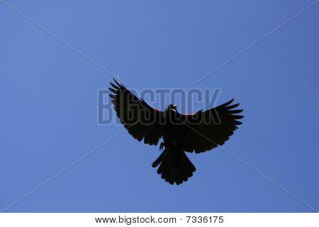 Redwinged Blackbird Male