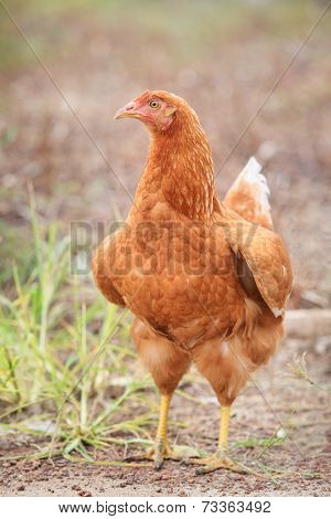 Brown Hen Chicken Standing In Field Use For Farm Animals, Livestock Domestic Pets Animals