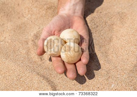 Man's hand holding three turtle eggs at Sea Turtle Farm and Hatchery in Sri Lanka.