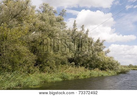 Willow forests in the National Park De Biesbosch.
