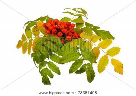 Rowan And Leaves