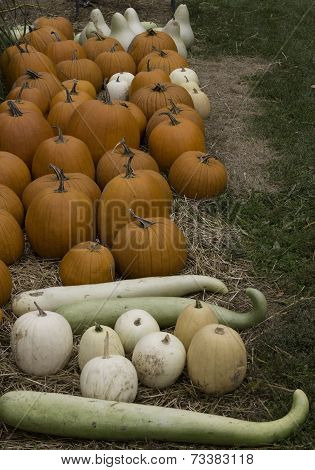 Orange And White Pumpkins And Snake Gourds