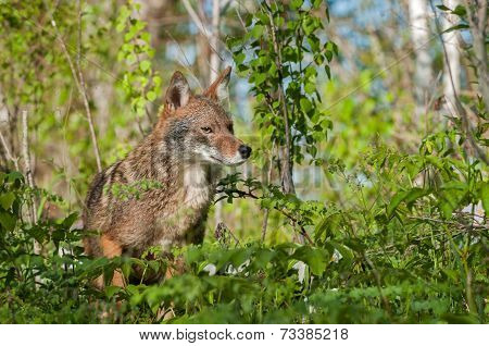 Coyote (canis Latrans) Amongst The Weeds