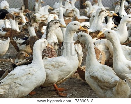 Domestic Ducks In The Poultry Yard