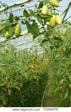 Oblong Green Tomatoes Hanging In Hothouse